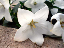 """rozwar wielkokwiatowy White - platycodon grandiflorus """"Astra White"""""""